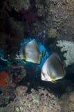 Pescados tropicales y filón coralino. Foto de archivo