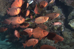 Pescados tropicales y filón coralino. Fotografía de archivo