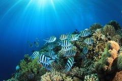 Pescados tropicales y filón coralino Foto de archivo