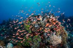 Pescados vibrantes del filón en Coral Triangle Imágenes de archivo libres de regalías