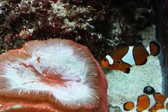 Pescados y anémona del payaso imagenes de archivo