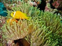 Pescados y anémona del payaso en el filón coralino Imagenes de archivo