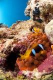Pescados y anémona, Mar Rojo, Egipto del payaso Fotografía de archivo