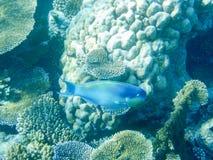 Pescados y arrecife de coral azules tropicales en Maldivas Fotos de archivo libres de regalías