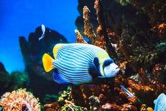 Pescados y arrecife de coral del imperator del Pomacanthus del angelote del emperador en el océano fotos de archivo