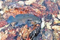 Pescados y caña de pescar frescos del mero en el agua con la piedra Imagenes de archivo