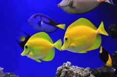 Pescados Zebrasoma que navega amarillo Imagenes de archivo