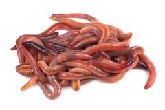 Pescando, cebo vivo, gusano rojo Dendrobena fotos de archivo