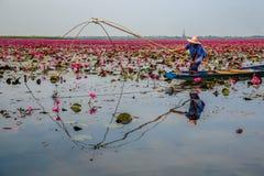 Pescando in Lotus Swamp Fotografia Stock