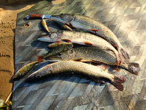 Pescando per il luccio Fotografia Stock