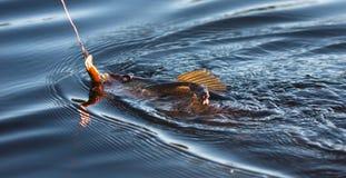 Pescando per il Pickerel fotografia stock