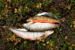 Pescando sulla tundra Fotografie Stock Libere da Diritti