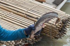 Pescatore che mostra grande pesce gatto Fotografie Stock