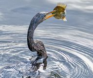 Pescatore della lancia di Anhingna al parco naturale di largo Fotografia Stock