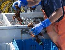 Pescatore di aragosta che tiene due aragoste in tensione di Maine Fotografia Stock