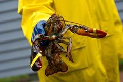 Pescatore e la sua aragosta fresca della Maine Fotografie Stock Libere da Diritti