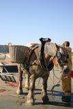 Pescatori del gamberetto a cavallo, Oostduinkerke, Belgio Immagine Stock Libera da Diritti