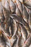 Pesce Fotografia Stock Libera da Diritti