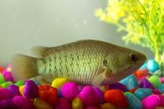 Pesce in acquario che prende respiro nell'azione Immagine Stock Libera da Diritti
