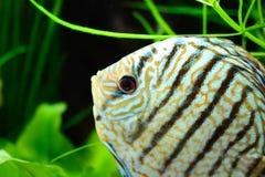 Pesce in acquario, pesce tropicale di disco in acquario Disco di Symphysodon dal Rio delle Amazzoni Diamante blu, snakeskin, fotografie stock