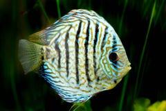 Pesce in acquario, pesce tropicale di disco in acquario Disco di Symphysodon dal Rio delle Amazzoni Diamante blu, snakeskin, immagine stock libera da diritti