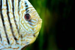 Pesce in acquario, pesce tropicale di disco in acquario Disco di Symphysodon dal Rio delle Amazzoni Diamante blu, snakeskin, fotografia stock