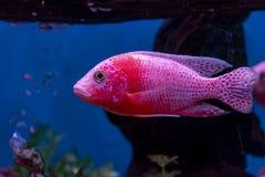 """Pesce adulto di rosso fuoco di Aulonocara """"Firefish """"che nuota nell'acqua fotografia stock libera da diritti"""