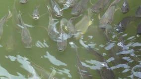 Pesce affamato in stagno video d archivio