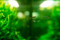 Pesce al neon in acquario Fotografia Stock