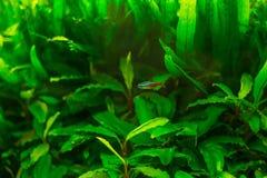 Pesce al neon in acquario Fotografia Stock Libera da Diritti