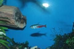 Pesce al neon dell'acquario Fotografia Stock