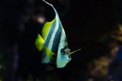 Pesce angelo Fotografia Stock Libera da Diritti