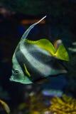 Pesce angelo Immagine Stock Libera da Diritti