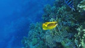 Pesce angelo del procione vicino a Coral Reef stock footage