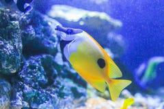 Pesce angelo dell'auriga Fotografia Stock