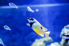 Pesce angelo dell'auriga Fotografie Stock