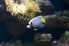 Pesce-angelo (pesce-imperatore) ed actinia (anemona del mare) Immagini Stock Libere da Diritti