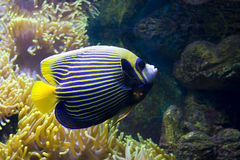 Pesce-angelo (pesce-imperatore) ed Actinia (anemone di mare) Fotografia Stock