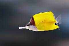 Pesce angelo a punta lunga fotografia stock
