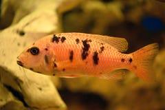 Pesce arancio Immagini Stock