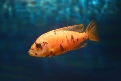 Pesce arancio Fotografia Stock Libera da Diritti