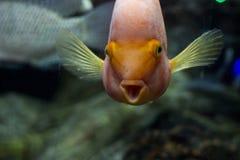 Pesce arancio luminoso con la bocca aperta Pesci divertenti Fotografie Stock