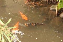 Pesce asiatico Koi tre fotografia stock
