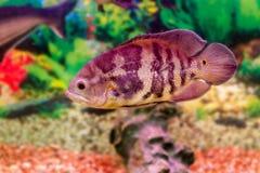 Pesce Astronotus dell'acquario immagine stock libera da diritti