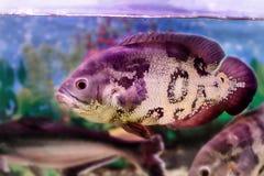 Pesce Astronotus dell'acquario fotografie stock libere da diritti