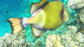 Pesce balestra nero del titano che si alimenta dalla barriera corallina, underwater a Maledives archivi video