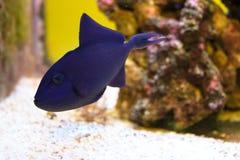 Pesce balestra nero di Redtoothed nell'acquario fotografia stock libera da diritti