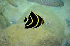 Pesce barrato giallo tropicale a Cozumel Messico Immagine Stock
