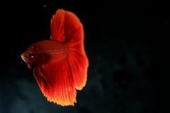 Pesce Betta del rombo Fotografia Stock