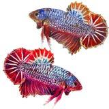 Pesce - Betta Siamese, attingente un fondo bianco Fotografia Stock